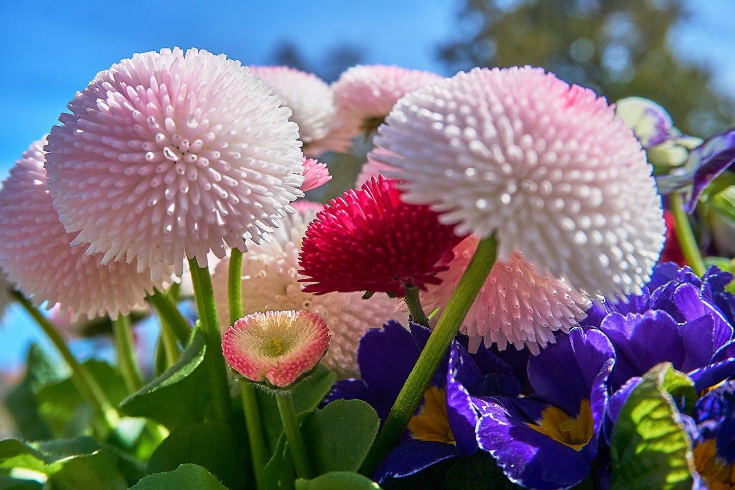 Kétnyári virágok